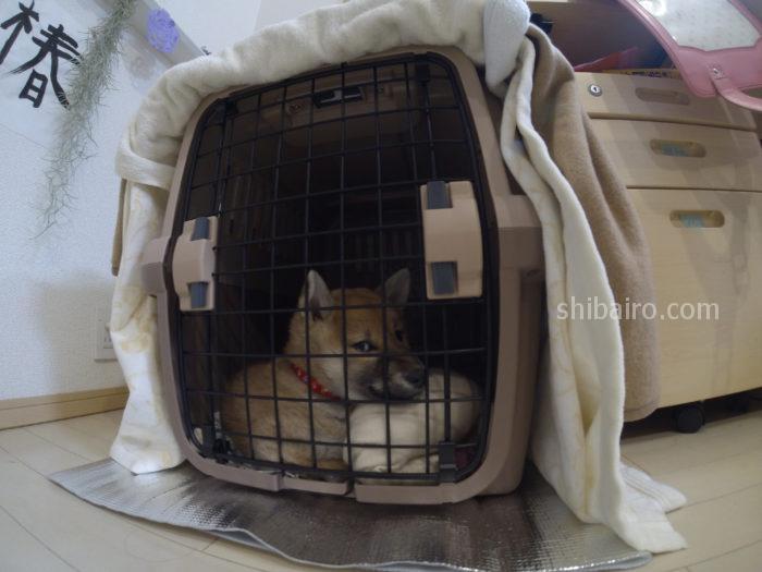 柴犬の3ヶ月