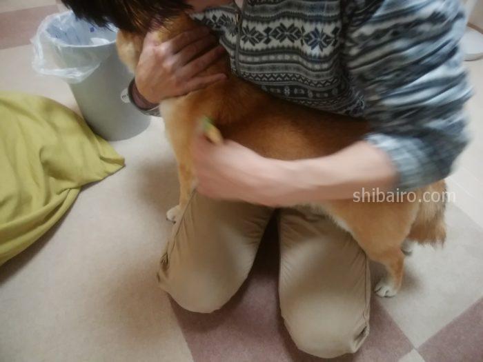 柴犬のブラッシング