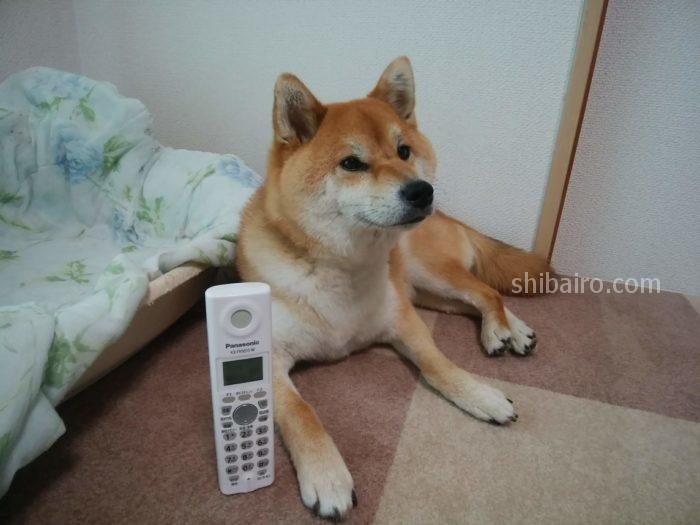 柴犬と電話