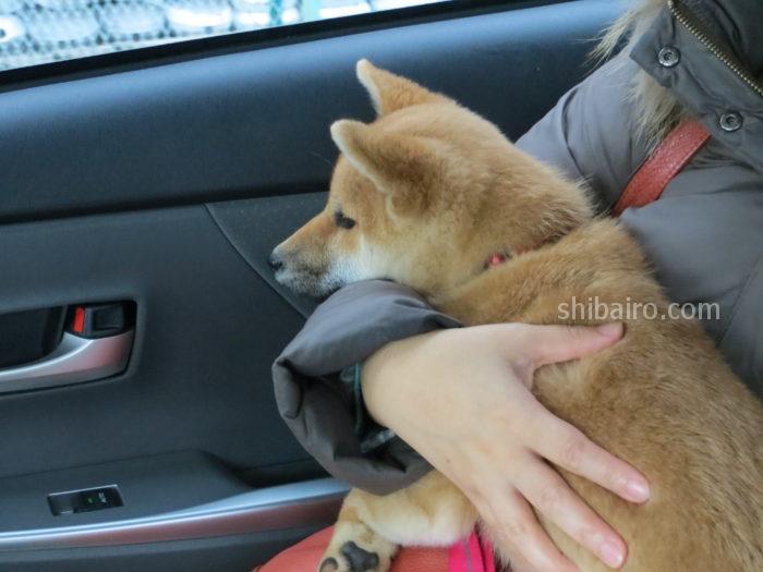 柴犬のドライブ