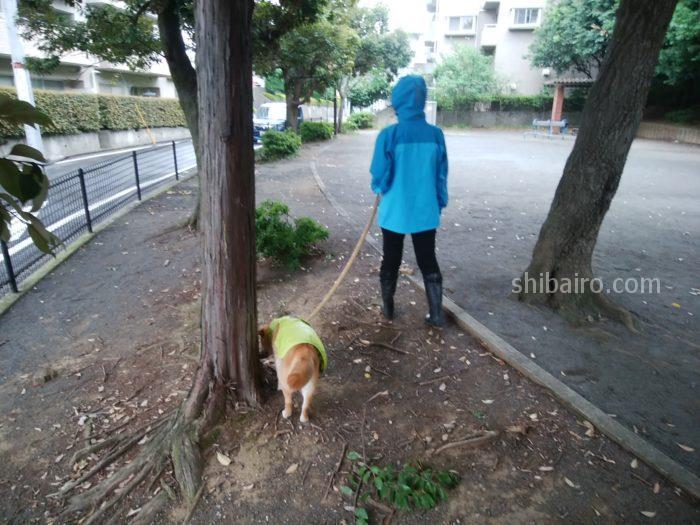 柴犬の雨の日散歩