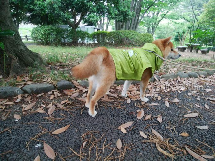 柴犬の雨の日の散歩