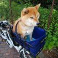 柴犬が電動アシスト自転車に乗っている
