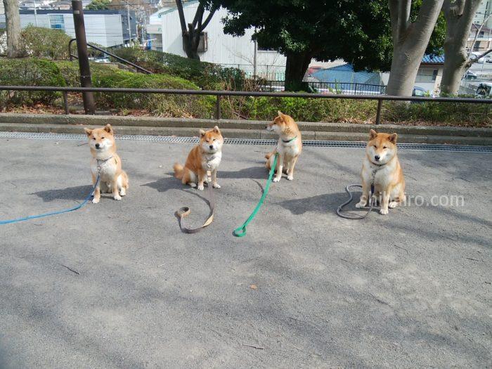 柴犬パーティー