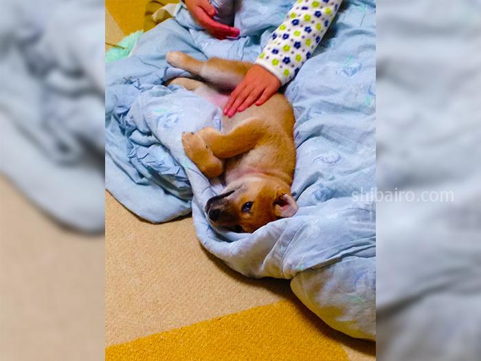 柴犬の子犬との絆