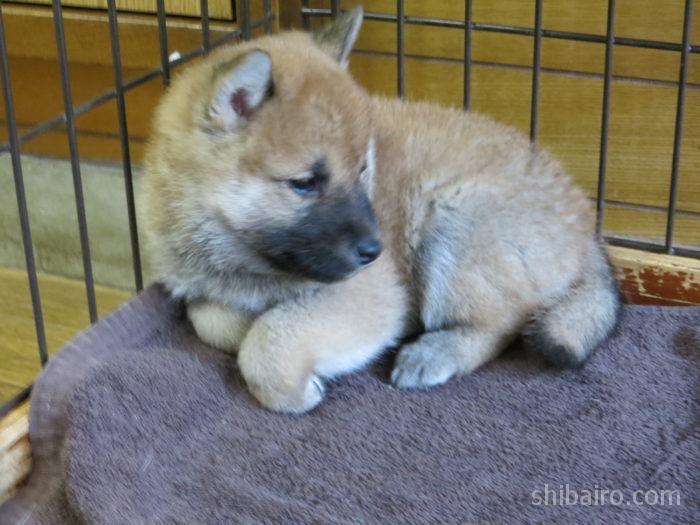 柴犬 2か月