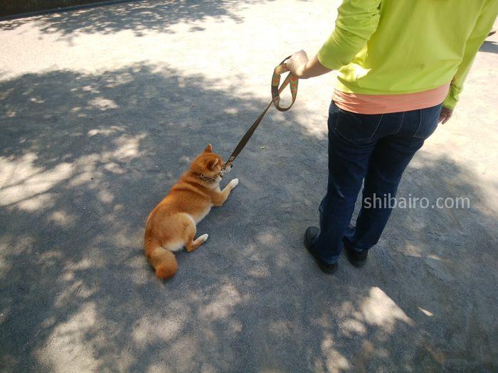 柴犬が散歩で歩かない!立たせ方&歩き方のコツ