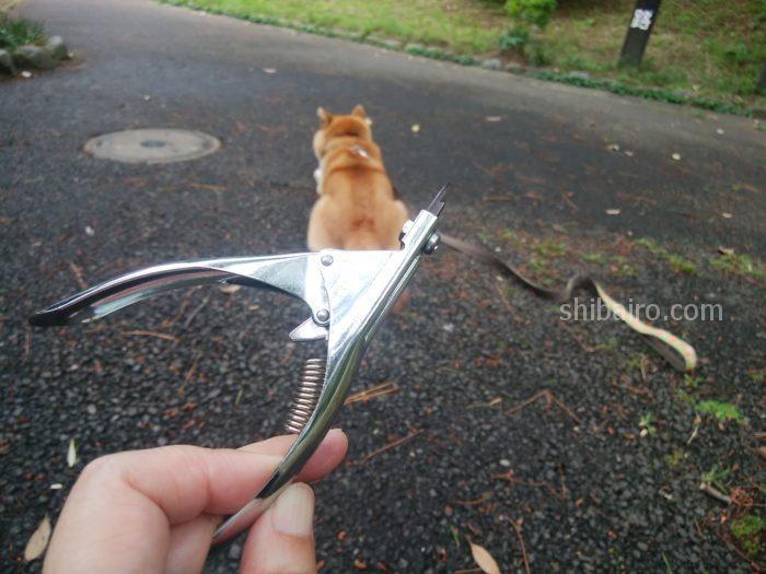 柴犬の爪切り