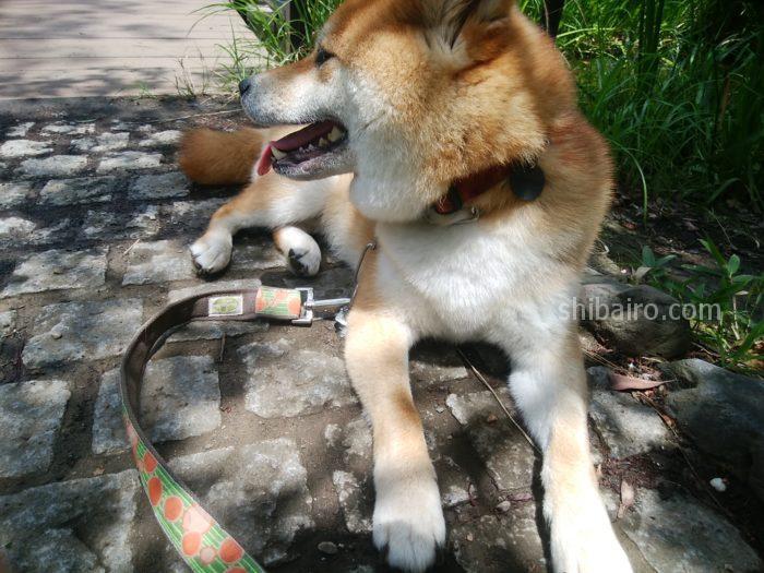 柴犬の性格は鋭敏?