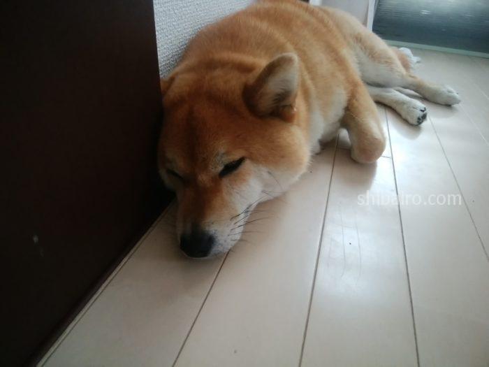 柴犬の耳の病気