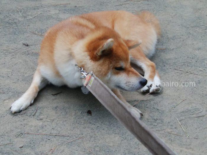 拒否犬 柴犬おつん