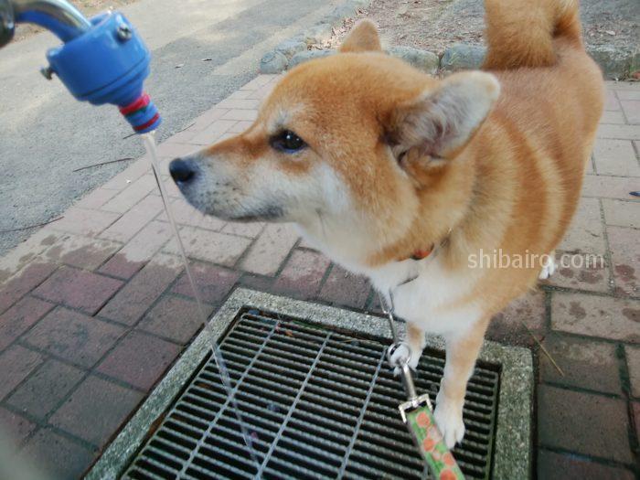 柴犬の水飲み