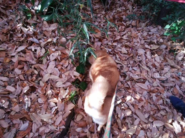 柴犬と枯れ葉