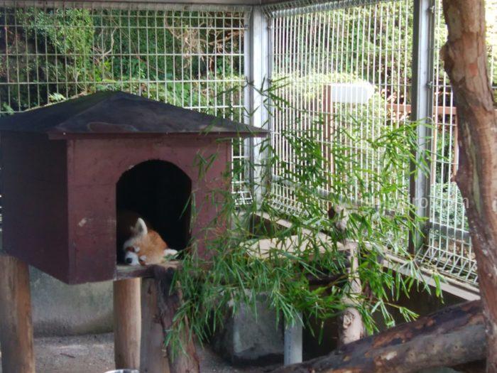 熱川バナナワニ園のレッサーパンダ