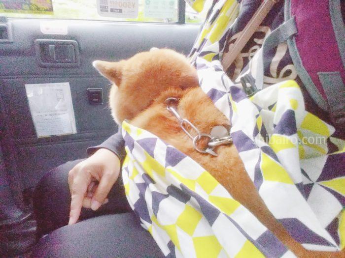 柴犬がタクシーに乗る