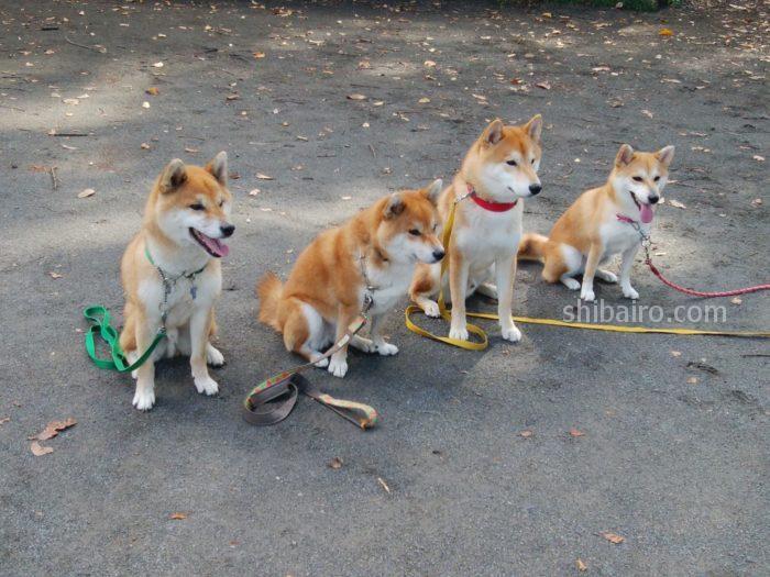 柴犬を飼うのは大変なの?