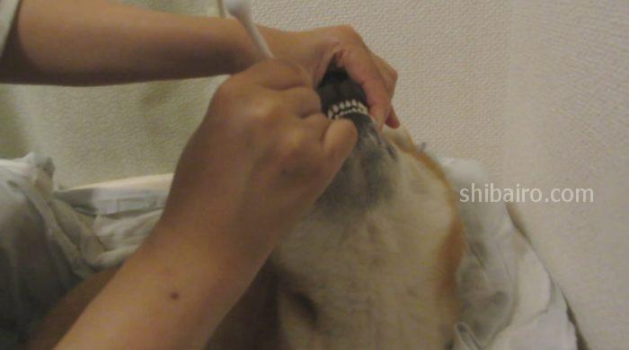 柴犬 歯の裏側を磨く