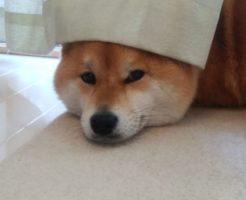 カーテンの向こうの柴犬