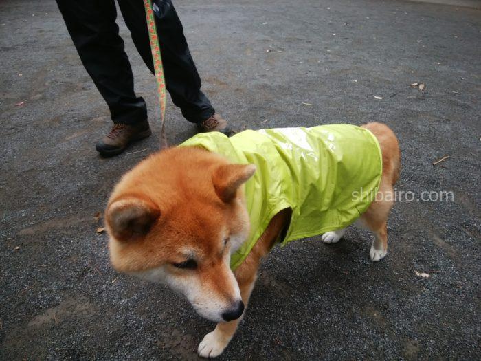 カッパを着た柴犬