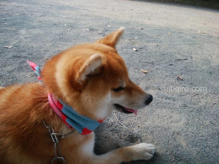 夏の柴犬のお散歩には保冷剤を首に巻く