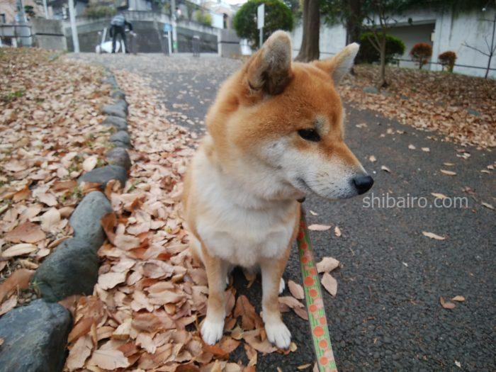 散歩中の柴犬