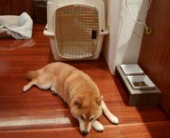 レジーナリゾート富士と柴犬